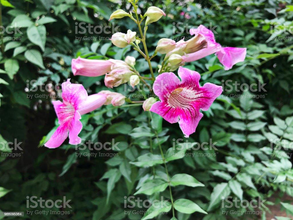 Roze trompet vine of poort St.John de klimplant of Podranea ricasoliana of Trompetklimmer radicans of trompet klimplant of koe jeuk wijnstok of Hummingbird wijnstok bloemen. - Royalty-free Beschrijvende kleur Stockfoto