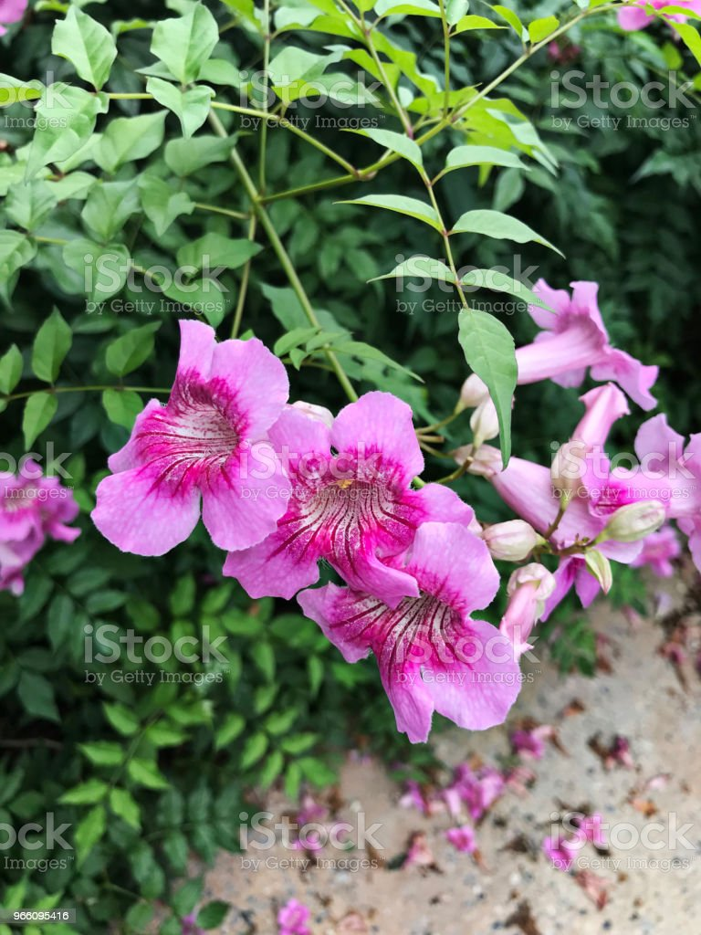 Pink Trumpet vine or Port St.John's Creeper or Podranea ricasoliana or Campsis radicans or Trumpet creeper or Cow itch vine or Hummingbird vine flowers. - Royalty-free Biodiversity Stock Photo