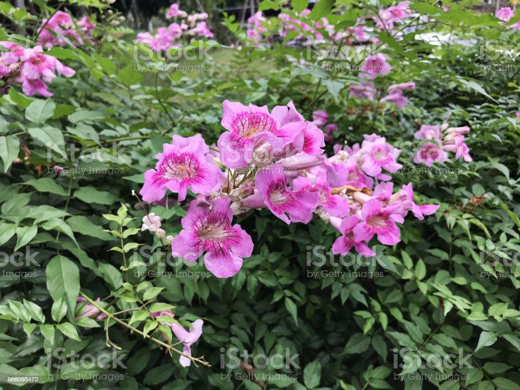 Rosa Trumpet vinstockar eller Port St.John 's Creeper eller Podranea ricasoliana eller Campsis radicans eller Trumpet creeper eller ko klådan vinstockar eller kolibri vinstockar blommor. - Royaltyfri Beskrivande färg Bildbanksbilder
