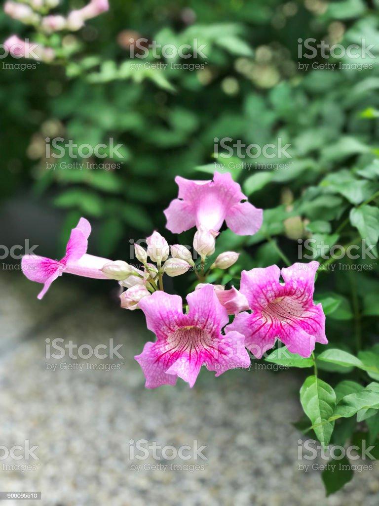 Pink trumpet vine or port stjohns creeper or podranea ricasoliana or pink trumpet vine or port sthns creeper or podranea ricasoliana or campsis radicans or mightylinksfo