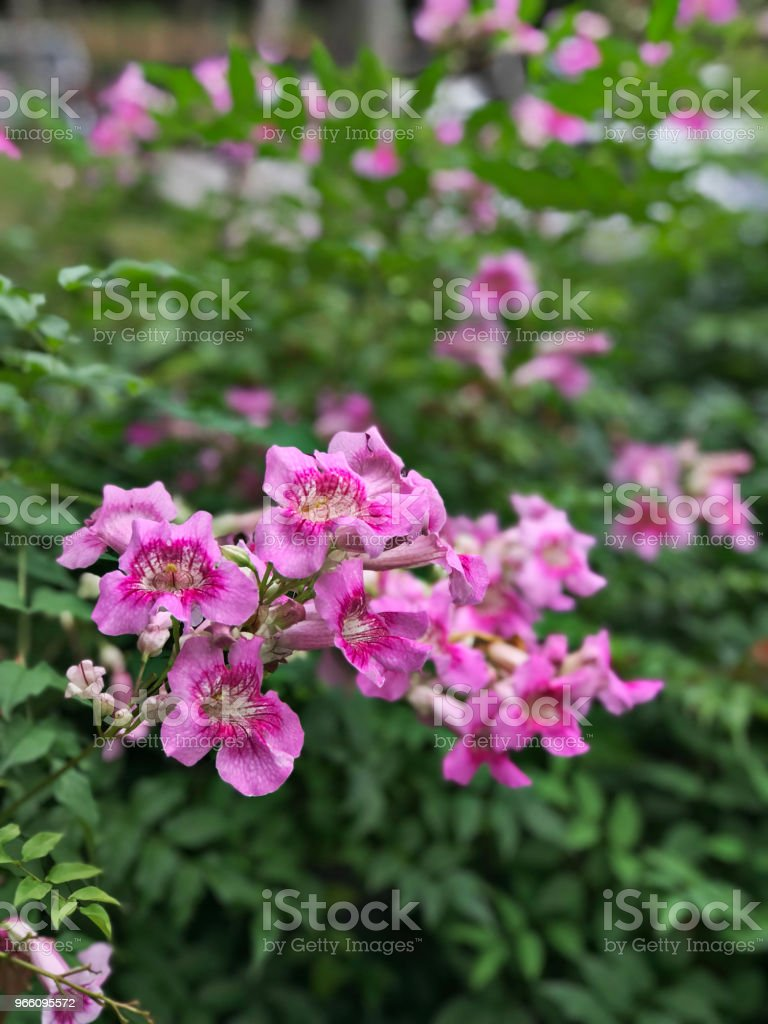 Pink Trumpet vine or Port St.John's Creeper or Podranea ricasoliana or Campsis radicans or Trumpet creeper or Cow itch vine or Hummingbird vine flowers. - Стоковые фото Биоразнообразие роялти-фри
