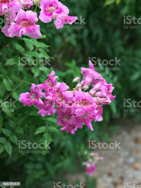 Pink Trumpet Vine Or Port Stjohns Creeper Or Podranea Ricasoliana Or Campsis Radicans Or Trumpet Creeper Or Cow Itch Vine Or Hummingbird Vine Flowers — стоковые фотографии и другие картинки Биоразнообразие