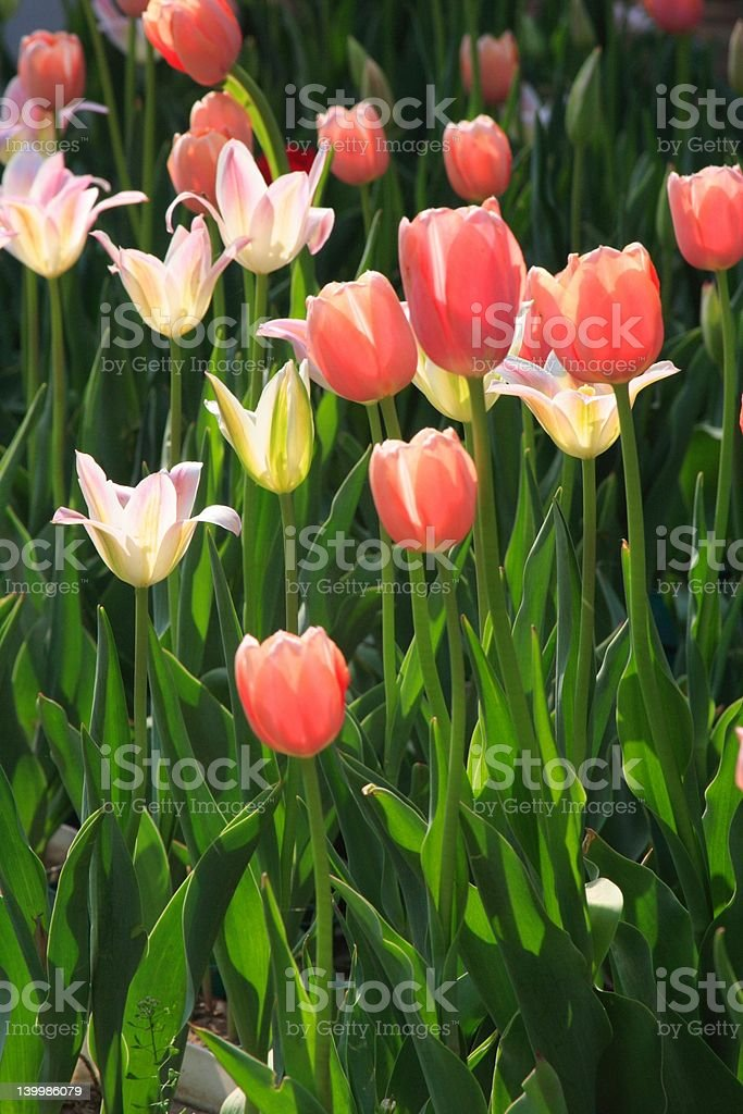 Pink Tulilps royalty-free stock photo