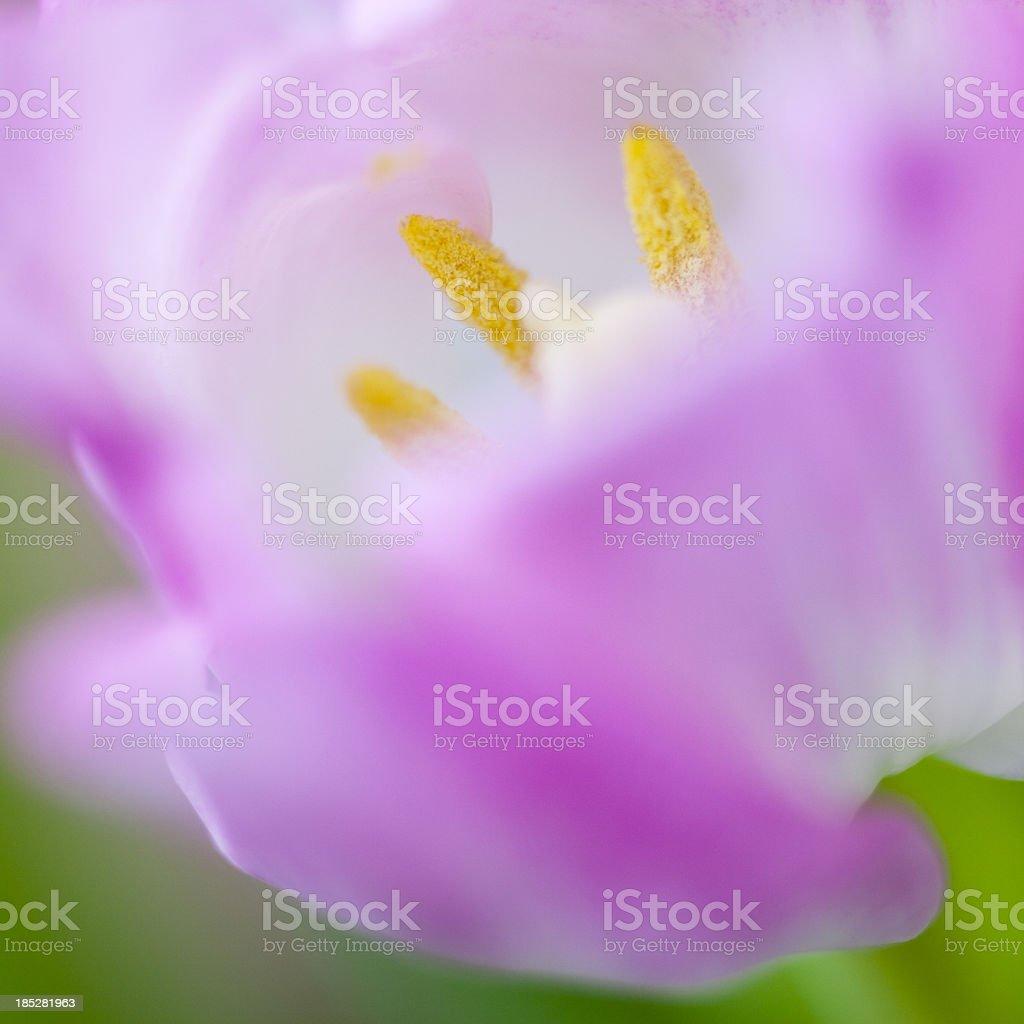 Pink tulip close-up royalty-free stock photo