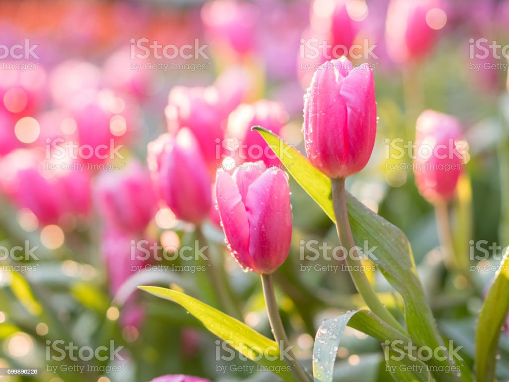 Pink tulip flower with water drops : slective focus. stock photo