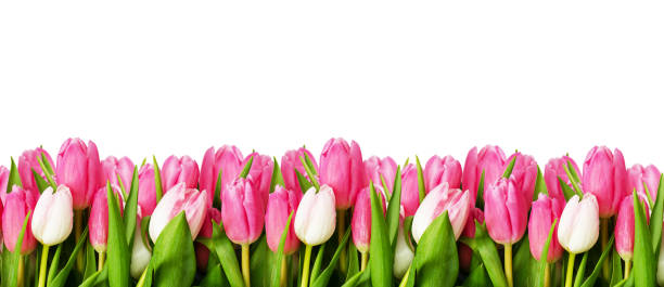 Best Tulip Border Stock Photos, Pictures & Royalty-Free ...