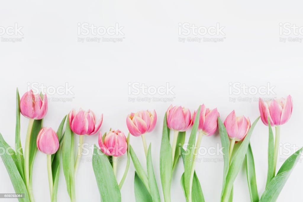 Pink tulip flowers for spring background top view in flat lay style. Womans or Mothers Day greeting card. stock photo