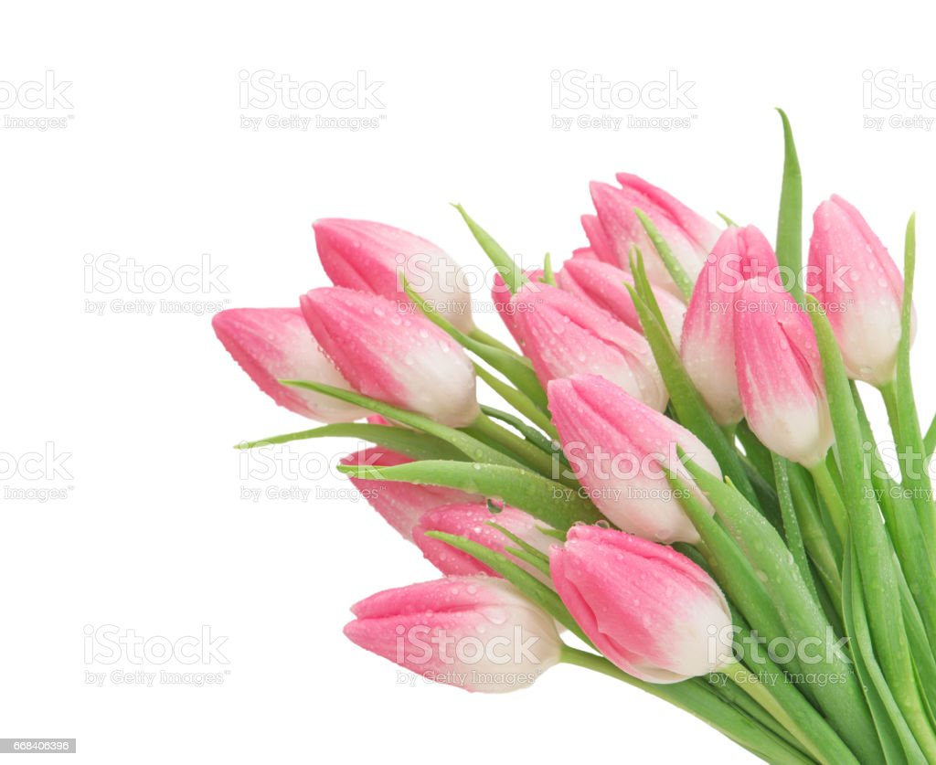 Pink Tulip Flowers Isolated White Background Stock Photo More