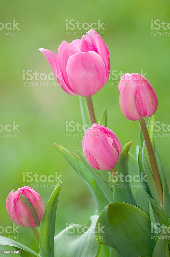 Pink tulip flowers on green background royalty-free stock photo
