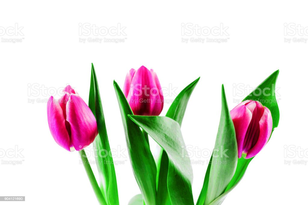 Pink tulip flowers on white background stock photo