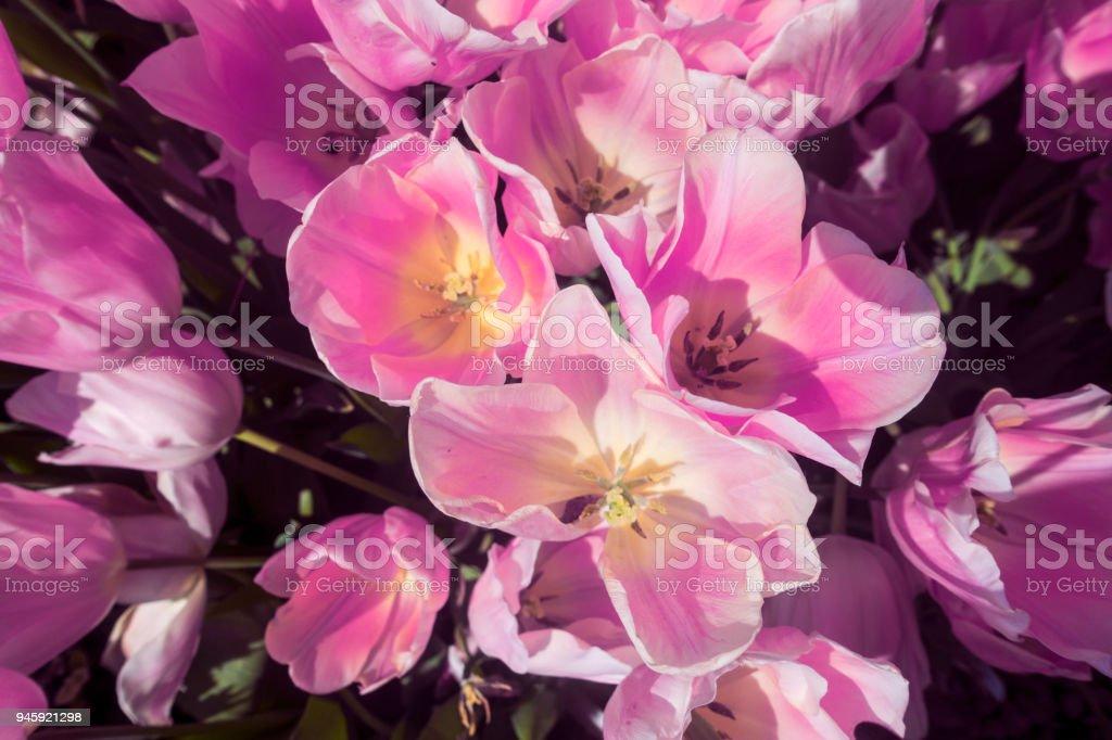 Pink Tulip Garden stock photo