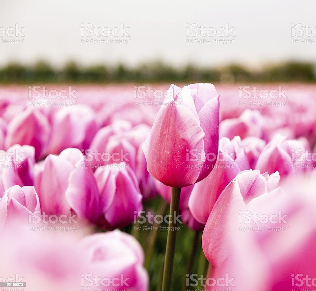 pink tulip in a flower field stock photo