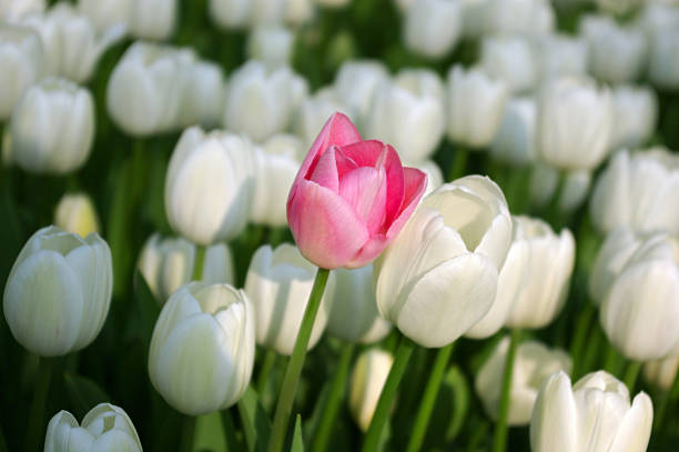 Pink tulip in a sea of white tulips stock photo