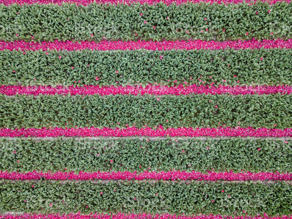 Pink tulip petals in horizontal lines stock photo