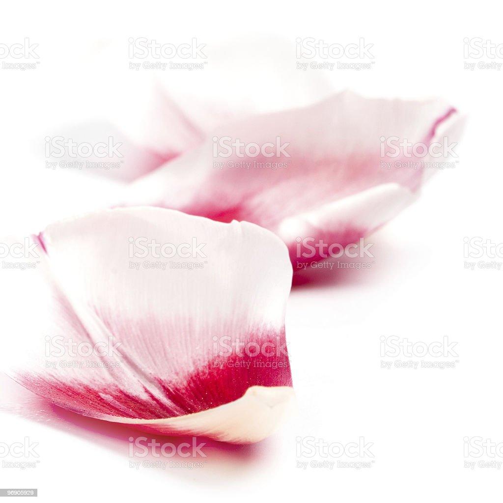 pink tulip petals royalty-free stock photo