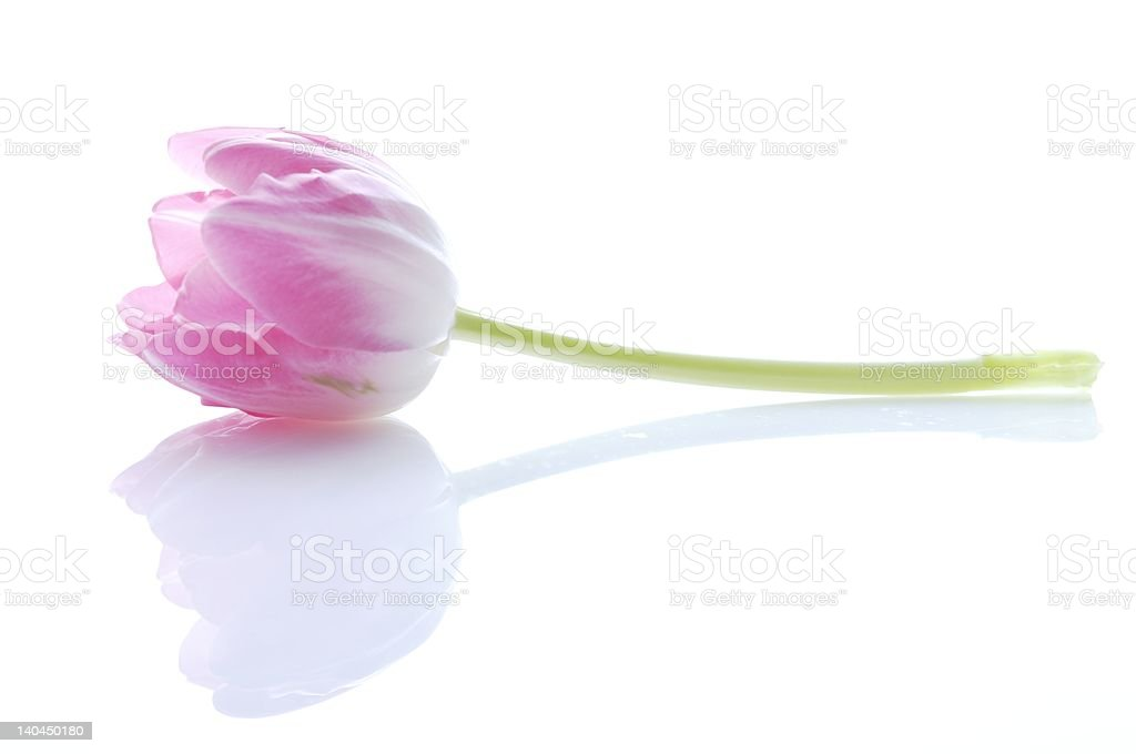 pink tulip royalty-free stock photo