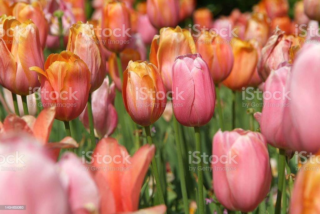 Pink Tulip stock photo