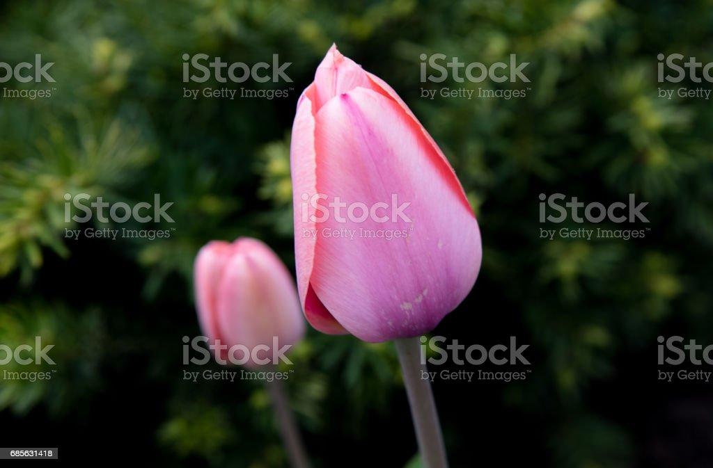 핑크 튤립 royalty-free 스톡 사진