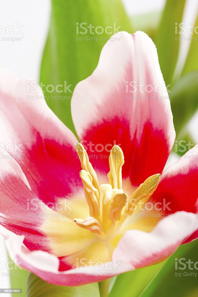 pink tulip royalty-free stock photo