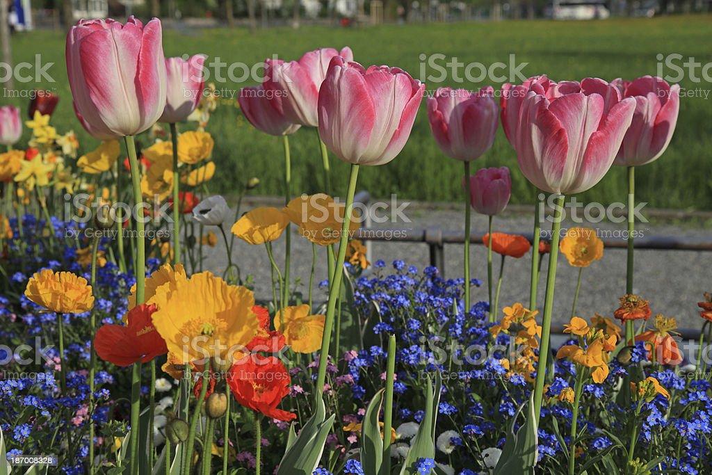 Photo Libre De Droit De Tulipes Roses Et Jaunes De Fleurs De