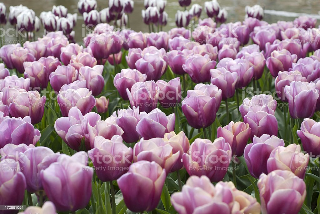 Pink Tulips at Keukenhoff royalty-free stock photo