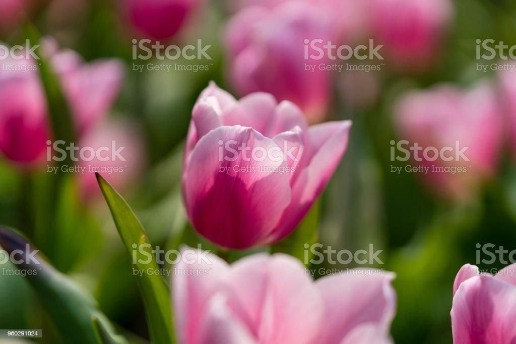 pink tulips bloom at farm under sunlight stock photo