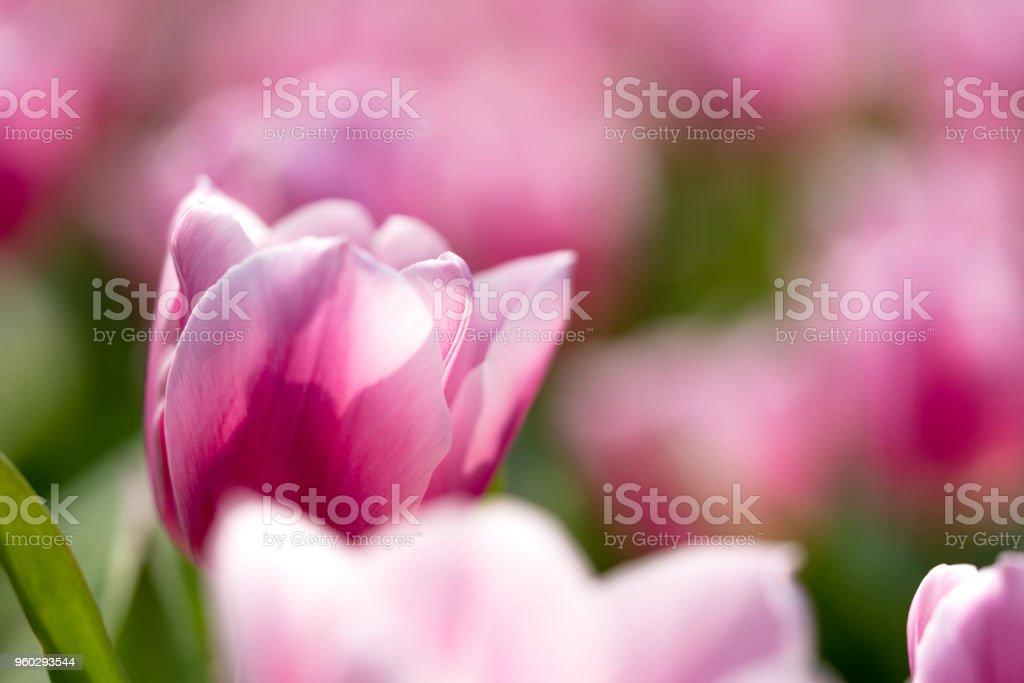 pink tulips bloom under sunlight stock photo