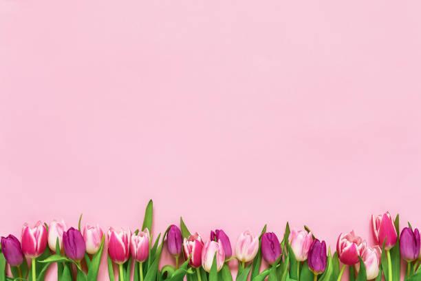 rosa tulipanes frontera sobre fondo rosado. copiar espacio, vista superior. fondo de vacaciones - día de la madre fotografías e imágenes de stock