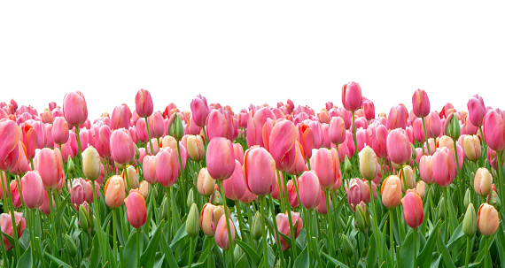 1094016162 istock photo Pink tulips field isolated on white background 1094016174