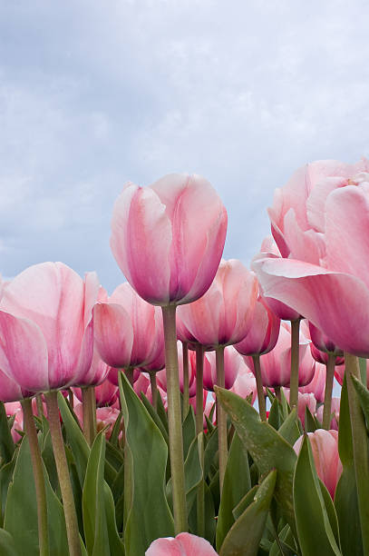 Pink tulips field stock photo