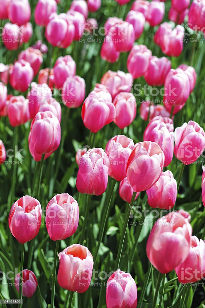 Pink tulips field royalty-free stock photo