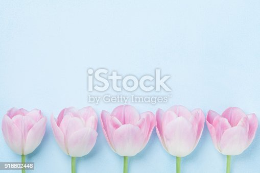 istock Pink tulips flower on blue background top view. Fashion punchy pastel colors. Flat lay style. Spring woman or mother day card. 918802446