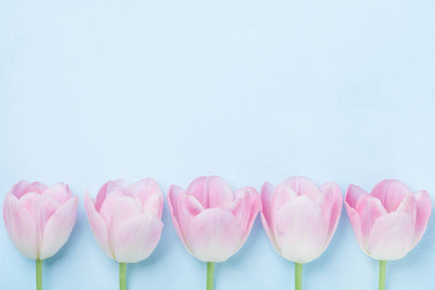 pink tulips flower on blue background top view. fashion punchy pastel colors. flat lay style. spring woman or mother day card. - spring fashion stock pictures, royalty-free photos & images