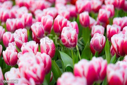 istock Pink tulips flowers in the garden,Colorful Tulip flower background in the garden.tulips in the park. soft-focus in the background 1064553342