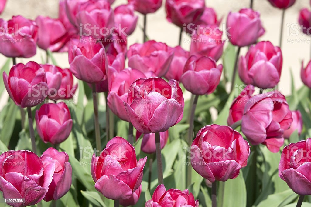 Pink tulips from the Netherlands royalty-free stock photo