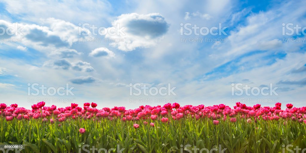 Pink Tulips in a field during a lovely spring day royalty-free stock photo