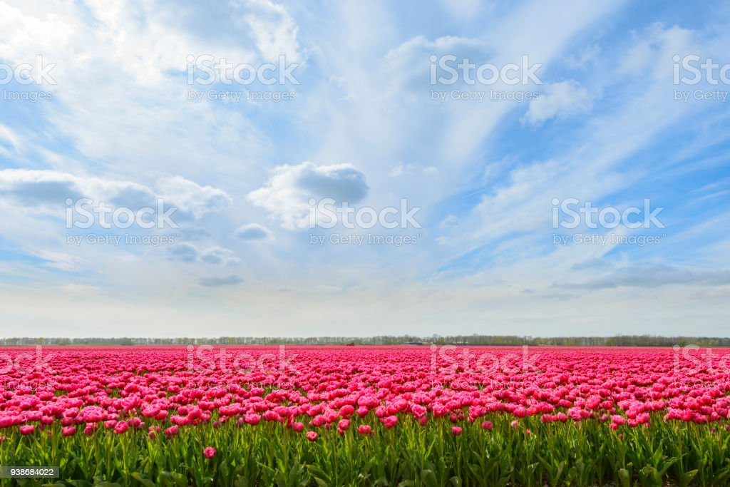 Pink Tulips in a field during a lovely spring day - foto stock