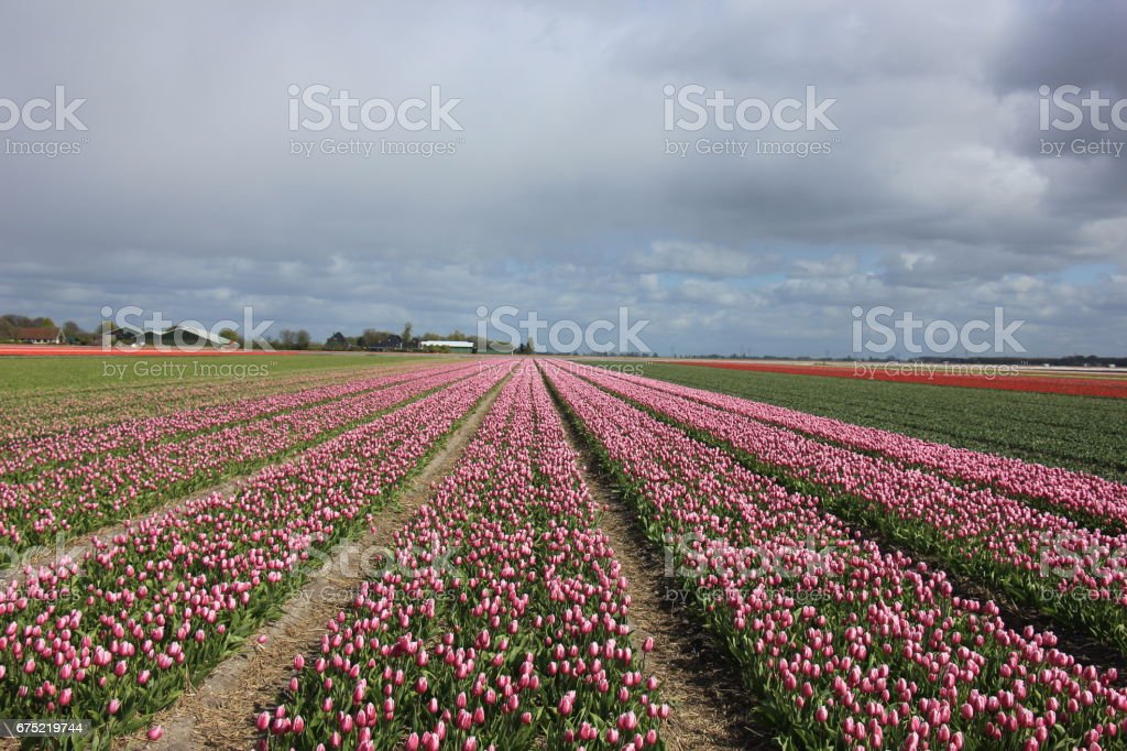 Pink tulips in a field royalty-free stock photo