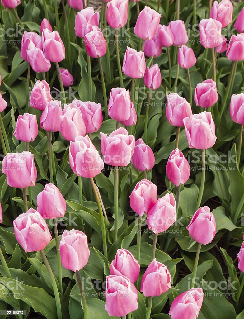 pink tulips in a tulip field stock photo