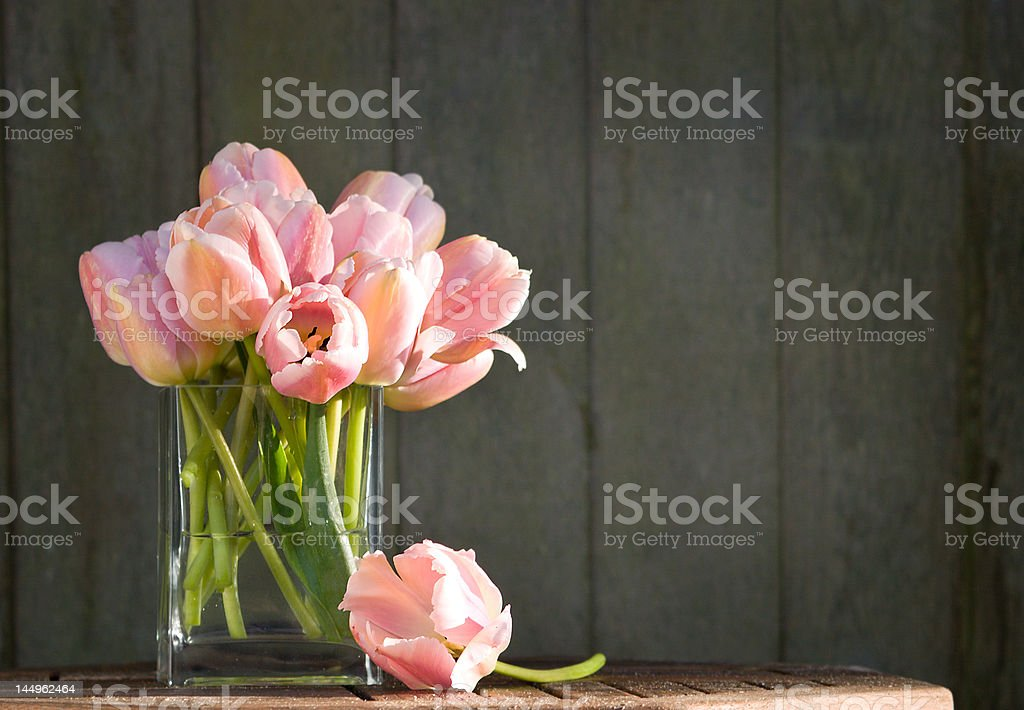 pink tulips in the morning sun stock photo
