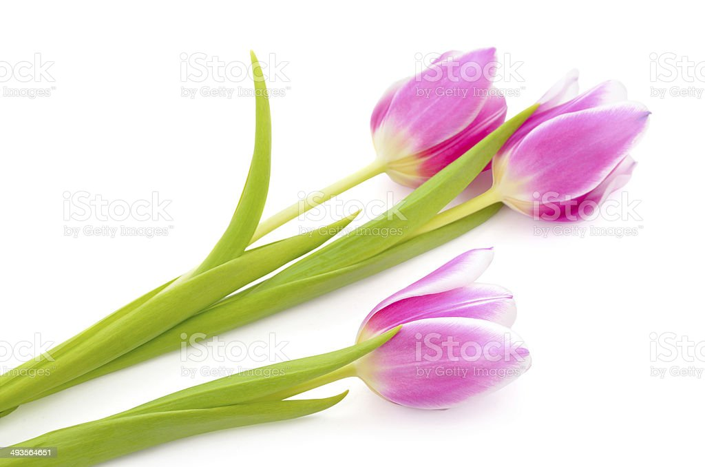 Pink tulips isolated on a white background. royalty-free stock photo