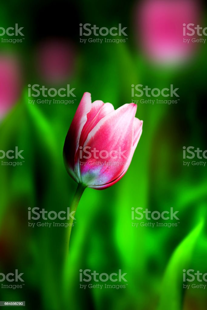 Pink tulips on a green background. royalty-free stock photo