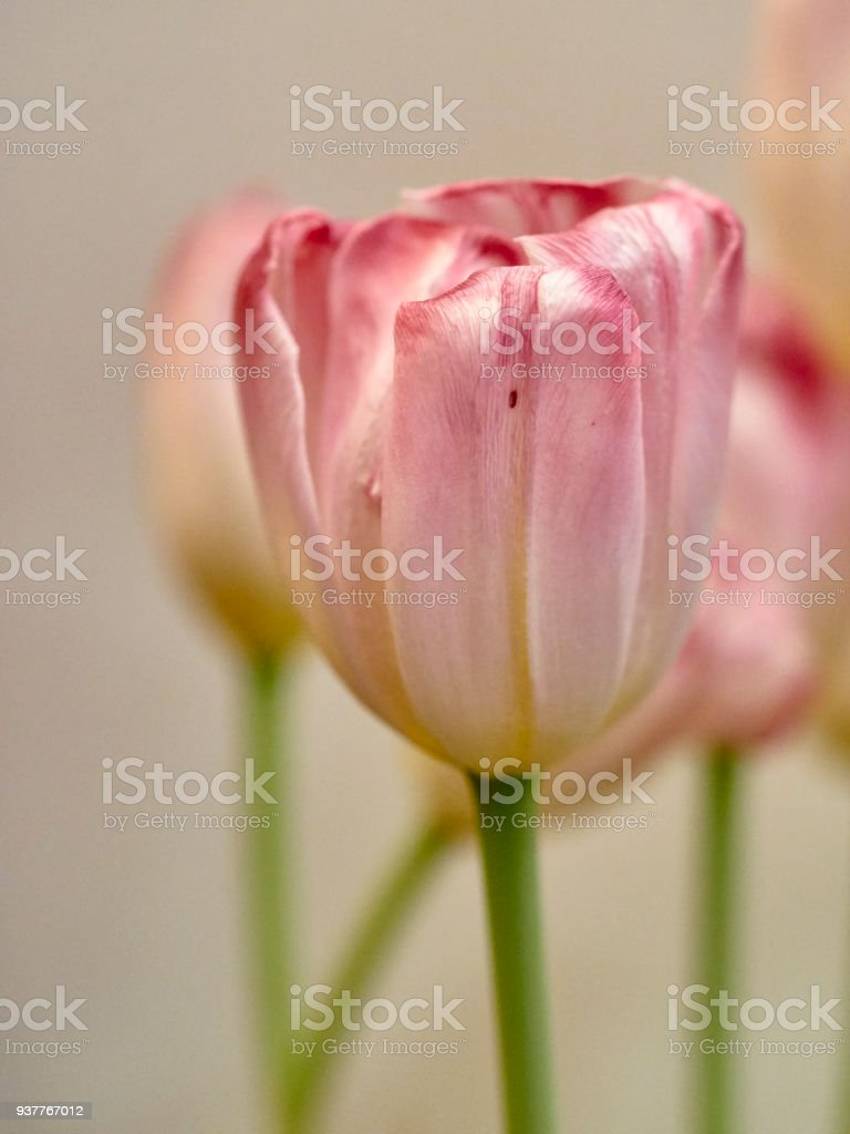 Pink tulips, on a light background. stock photo