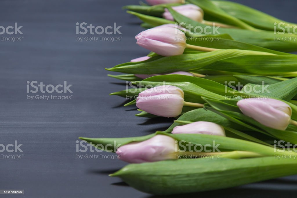 Pink tulips on dark chalkboard surface background with copy space. stock photo
