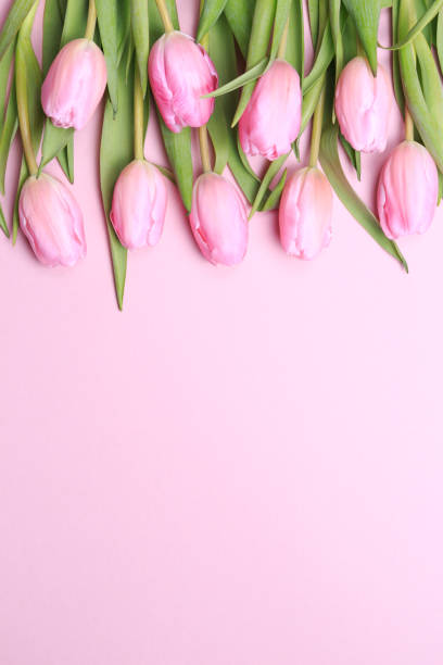 Pink Tulips On The Background Flat Lay Top View Valentines