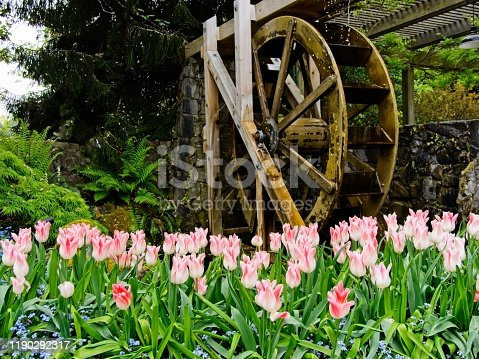 Pink tulips covered in water drops bloom in the springtime, water wheel blurred in the background