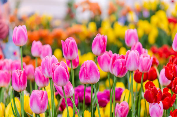 Pink tulips Beautiful pink tulip flowers in the garden spring stock pictures, royalty-free photos & images