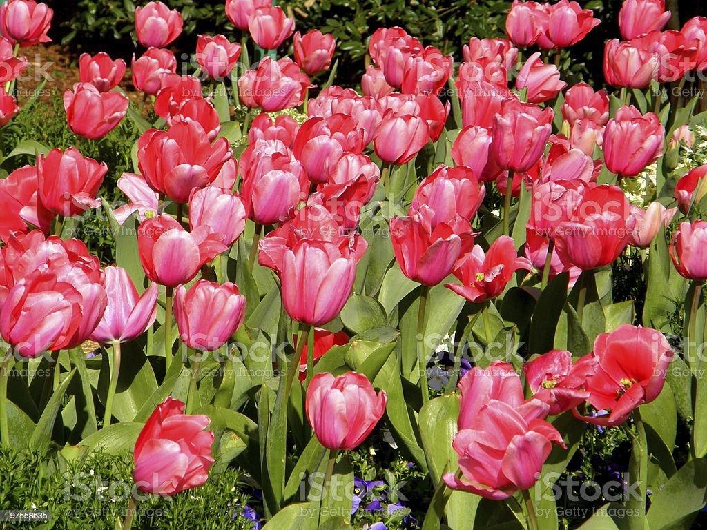 Tulipes rose photo libre de droits
