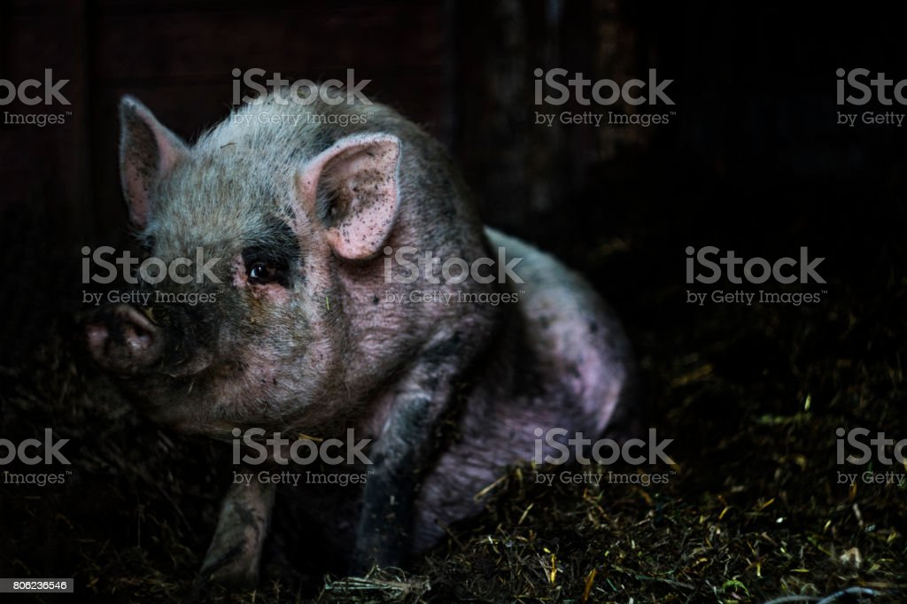 Pink Vietnamese pig resting lying on a straw on a farm stock photo