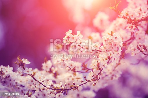 Pink vintage blossom cherry tree branches at sunrise. Spring natural background